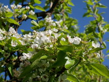 Flowering of fruit trees in early spring. Delicate pink flowers of pear. Royalty Free Stock Photos