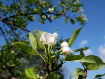Flowering of fruit trees in early spring. Delicate pink flowers of pear. Royalty Free Stock Image