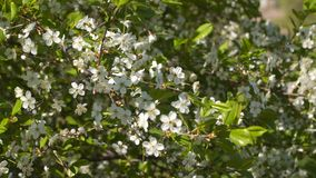 Flowering fruit trees. White flowers on a tree branch stock video footage