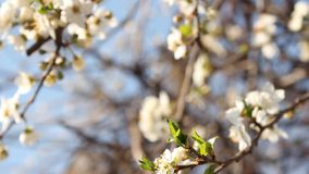 Flowering fruit trees. stock video