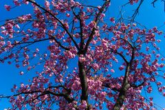 Flowering fruit trees. In the old Country near Hamburg Germany royalty free stock photo