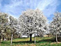 Flowering fruit trees in an orchard on Bank Pit.  Close to the town of Zvolen. Flowering fruit trees orchard bank pit close town zvolen stock photography
