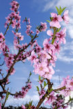 Peach blossoms in springtime Royalty Free Stock Photography