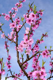 Peach blossoms in springtime Royalty Free Stock Photo