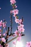 Peach blossoms in springtime Stock Photos