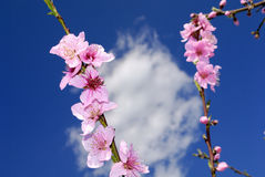 Peach blossoms in springtime Royalty Free Stock Image