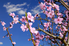 Peach blossoms in springtime Royalty Free Stock Images