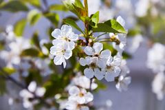Flowering fruit trees on a spring day royalty free stock images