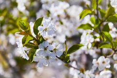 Flowering fruit trees on a spring day stock photos