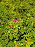 Flowering and fruiting bushes of briar Royalty Free Stock Photo