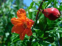 Flowering fruiting pomegranate stock photo