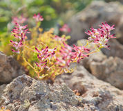 Flowering Fumaria, fumitory Royalty Free Stock Photography