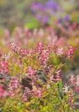 Flowering Fumaria, fumitory Royalty Free Stock Image