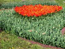 Flowering garden beautiful plant tulip with orange flowers growing on a flower bed. Nature spring flowering garden beautiful plant tulip with orange flowers stock photo