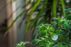 Flowering garden greens. Stock Photo