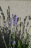 Flowering  garden with lavender or Lavandula officinalis flower in bloom close up Stock Photo