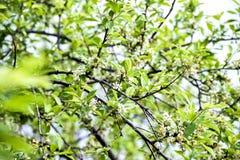 Flowering plum. Flowering garden in May stock photos