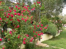 a flowering garden with roses stock photo