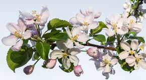 Flowering garden in spring moods. Apple tree branch with white flowers on a light blue sky background stock photo