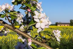 Flowering garden in spring moods. Apple tree branch with white flowers on a light blue sky background royalty free stock photo