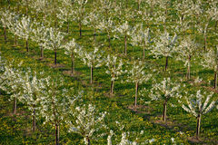 Flowering Garden. Young flowering frugal trees set-in rows on field stock image