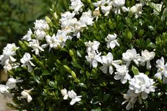Flowering gardenia bush royalty free stock images