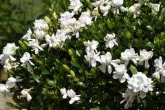 Flowering gardenia bush. Flowering white gardenia bush in garden royalty free stock images