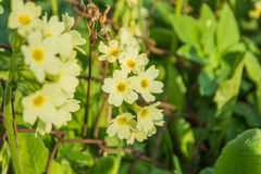 Flowering gardens. In the garden near the fence blooming yellow flowers Stock Photography