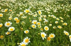 Flowering garland chrysanthemum Stock Image