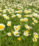 Flowering garland chrysanthemum Royalty Free Stock Image