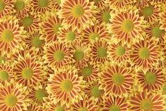 Flowering Gazania Royalty Free Stock Photography