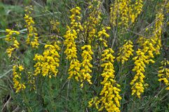 Free Flowering Genista Tinctoria Royalty Free Stock Photography - 120588687