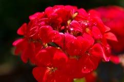 Flowering geranium Fotografía de archivo libre de regalías
