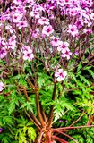 Flowering  Geranium maderense, known as giant herb-Robert or the Madeira cranesbill, much resembling a small palm tree Stock Photography
