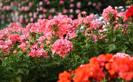Flowering geranium. Pelargoniums are lush flowering perennial favorite for cultivation in the balcony or terrace. The most common geranium pink and red colored stock images