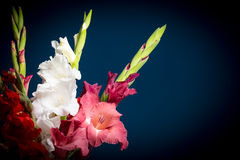Flowering gladioli. On a dark blue background Stock Photography