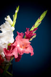 Flowering gladioli Stock Image