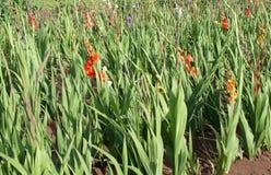 Flowering gladioluses Stock Image