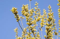 Flowering goat willow (Salix caprea). In spring Stock Images