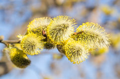 Flowering goat willow (Salix caprea). In spring Royalty Free Stock Image