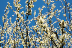 Flowering goat willow (Salix caprea) in spring. stock photography
