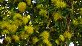 Flowering Golden Wattle. A flowering golden wattle tree with the branches and leaves swaying in the wind stock footage