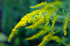 Flowering goldenrod Royalty Free Stock Photography