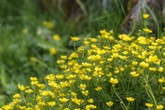 Flowering Goldilocks Buttercup Royalty Free Stock Photos