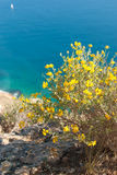 Flowering gorse. Bush on top of a cliff Royalty Free Stock Image