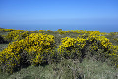 Flowering Gorse bushes Stock Photos