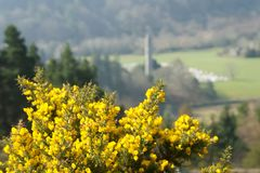 Flowering Gorse in Glendalough. Close up of flowering gorse bush with Glendalough round tower in background Stock Image