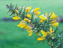 Flowering Gorse. Gorse (Ulex europaeus Fabaceae) is generally considered to be New Zealands worst scrub weed. It was originally introduced to New Zealand as a Royalty Free Stock Photography