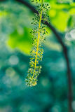 Flowering grapes. The annual growth cycle of grapevines is the process that takes place in the vineyard each year Royalty Free Stock Photos