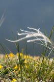Flowering grass. Bloom feather grass is outlined against blue background. Feather grass is surronded by green and yellow plants Royalty Free Stock Images